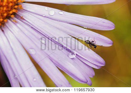 dew drops  on petals purple flower