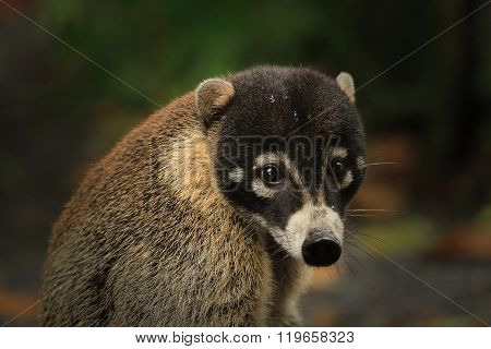 lose-up portrait of a very cute White-nosed Coati