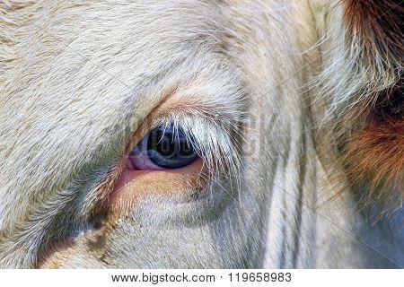 Fribourg cow eye, Switzerland