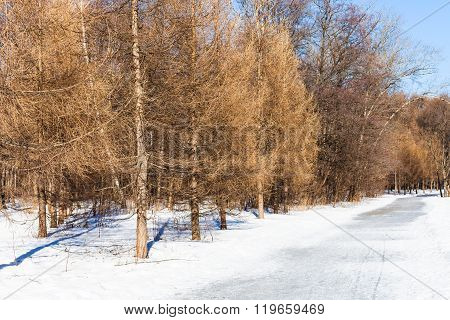 Frozen Pathway Along Bare Larch Trees In Winter