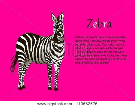 realistic zebra on a pink background vector