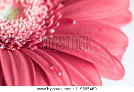 Pink Gerbera Flower On The White Background