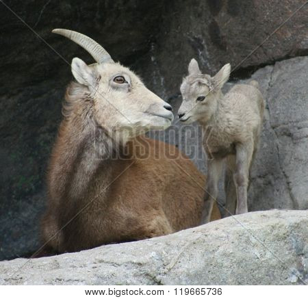 Bighorn ewe nose to nose with baby lamb.