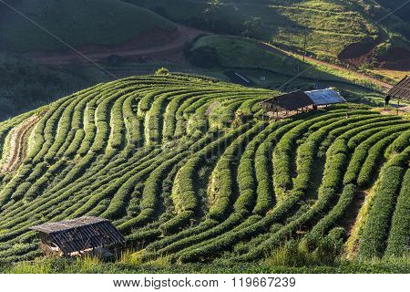 Tea field with the little cottage in deep mountain