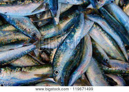 Sardines fresh fish in the fish market of Mediterranean sea
