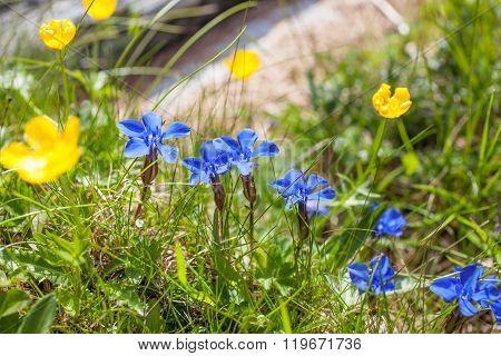 Bavarian Gentian On Mountain Meadow