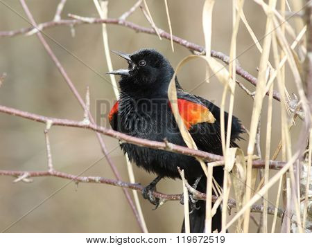 Male Red-winged Blackbird Calling