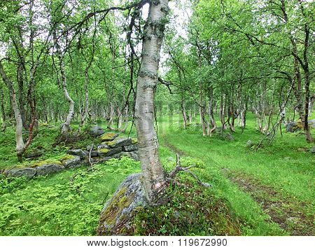 Bizarrely forest of birchs, Betula
