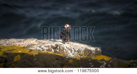 Icelandic Puffins At Remote Islands On Iceland, Summer Time