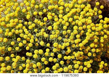 Corratxar yellow flowers in Tinenca Benifassa of Spain Castellon
