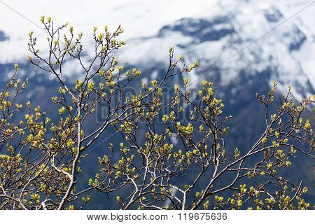 Young Shoots In Spring In The Mountains