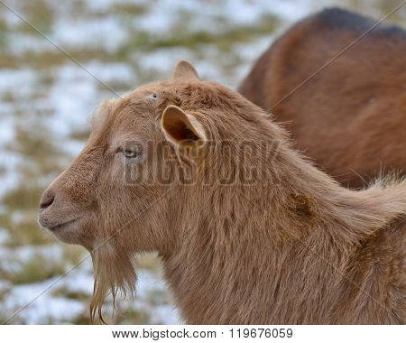Brown Goat In The Pasture