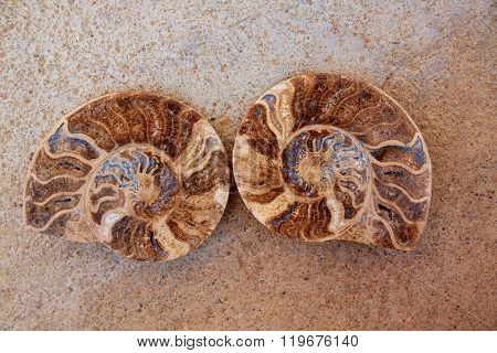 Ammonites fossil snail cut found in Teruel Sierra Albarracin of Spain