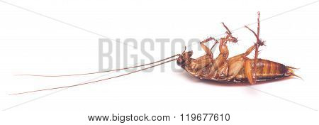 dead cockroach isolated on a white background