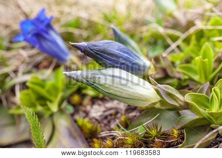 Stemless Gentian (gentiana Acaulis)