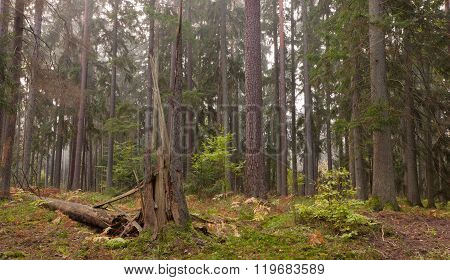 Late Summer Coniferous Stand