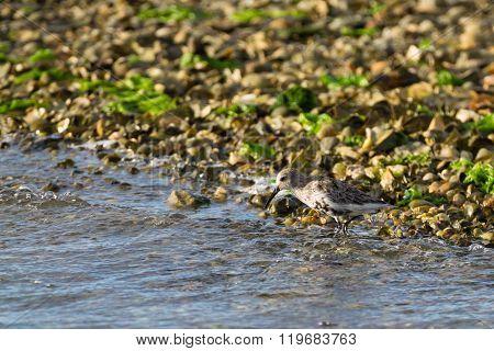 Kentish Plover Bird