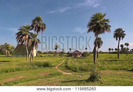 Cuba, Pinar del Rio Region Vinales Area.  Landscape with fields of tobacco and bottle palms