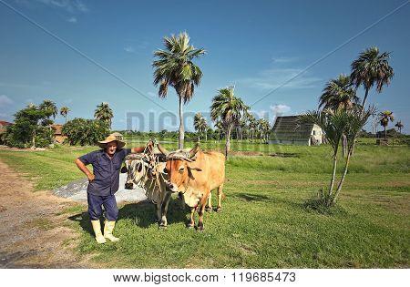 HAVANA, CUBA - June 26: Cuban Farmer with Oxen, Bullocks. Vinales Valley, Pinar del Rio, Cuba.