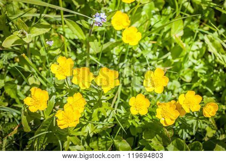 Buttercup (Ranunculus arvensis) on a mountain meadow in South Tyrol Italy