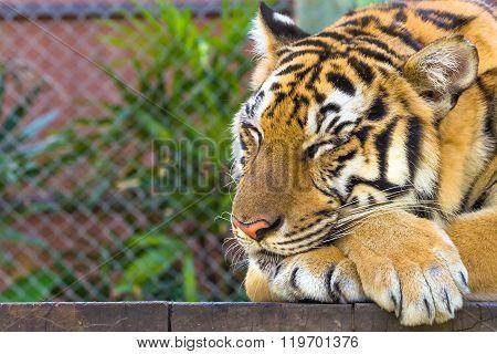 Portrait of big tiger