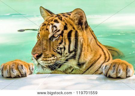 Big tiger portrait