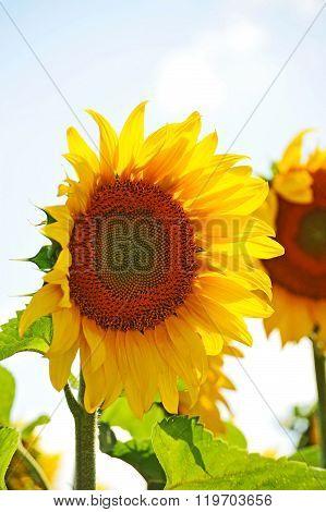 Sunflower (helianthus) And Sky