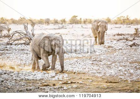 Bull elephant at a water hole in Etosha National Park