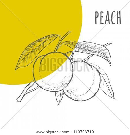 Peach vector freehand pencil drawn sketch. Illustration of peaches bunch on branch with leaves. Part of set of fruits sketchy drawings.