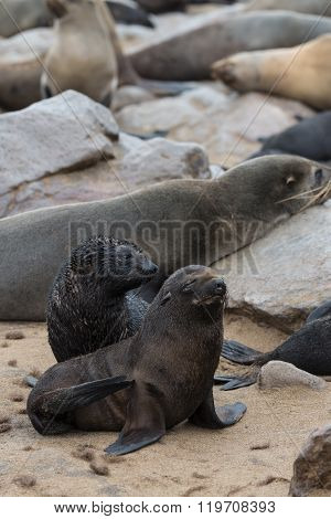Fur Seal Colony At Cape Cross (namibia)