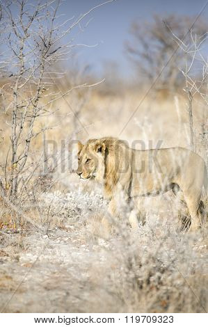 Male lion walks through the dry undergrowth ** Note: Shallow depth of field