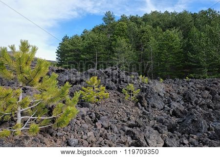 young pines colonize a flow of cooled lava in Etna National Park, Sicily