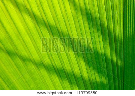 Palm Leaf And Sunlight In Afternoon