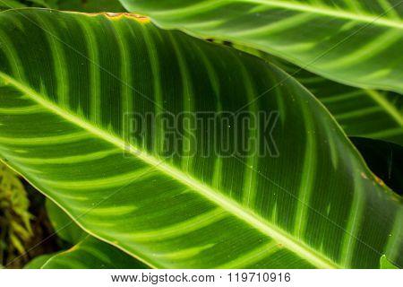 Tropical Elephant Ear Leaf  In Ubud, Bali
