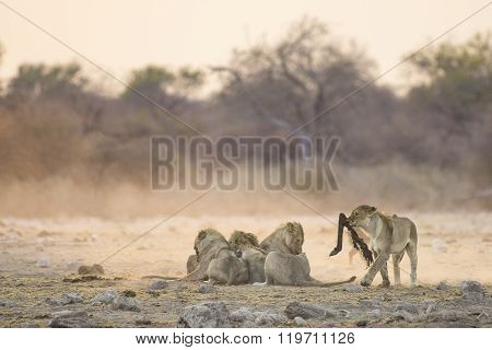 Lions make the most of an early morning kill in Etosha National Park.