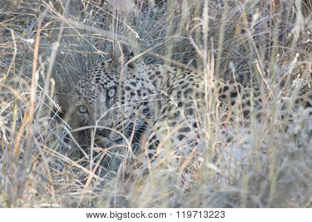 A leopard moves through the long grass.