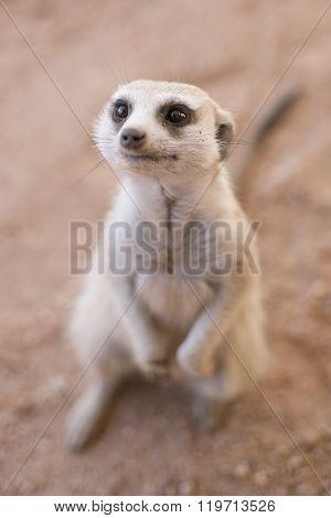 Inquisitive Meerkat.