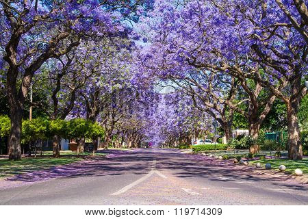 Street lined with Jacaranda trees