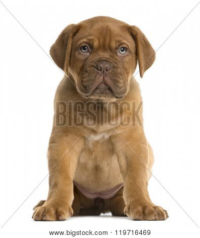Dogue de Bordeaux puppy sitting in front of a white background