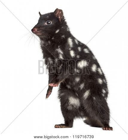 Quoll on his hind legs, isolated on white (3 years old)