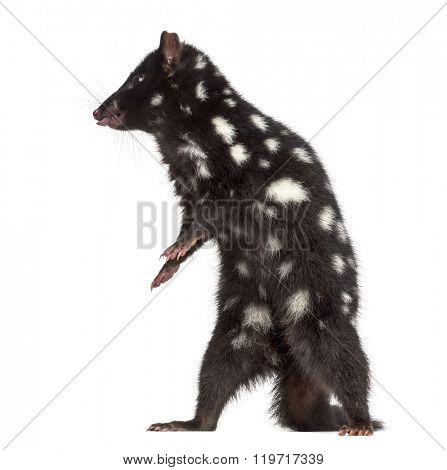 Quoll on his hind legs and sticking the tongue out, isolated on white (3 years old)