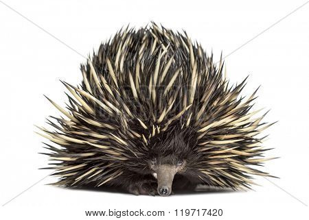 Short-beaked echidna isolated on white (20 years old)