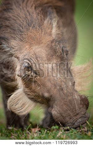 Warthog grazes on fresh green grass in a National Park.