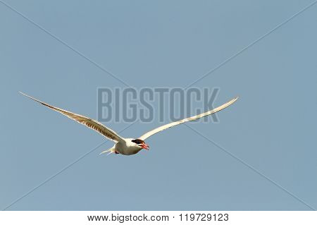 Common Tern Flying Towards The Camera