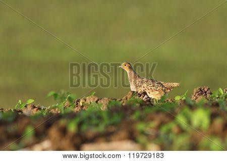 Female Grey Partridge In The Field