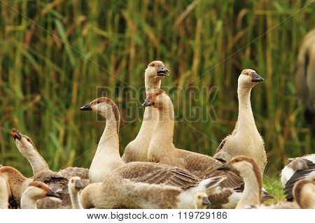 Flock Of Brownish Geese