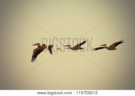 Great Pelicans In Flight With Vintage Effect