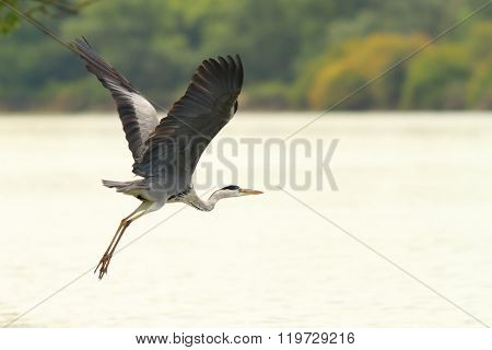 Great Heron Flying Over Danube River