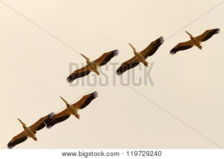 Group Of Pelicans Flying In Formation