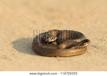 Juvenile Grass Snake